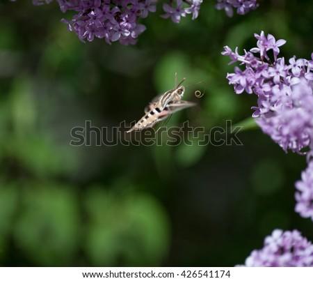 Hummingbird hawk moth sipping nectar from a lilac bush - stock photo