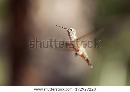 Hummingbird in flying - stock photo