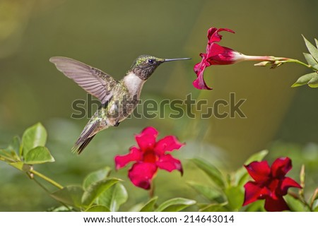 Hummingbird in Search of Nectar - stock photo