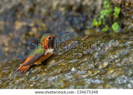 Hummingbird is bathing in waterfalls, Golden Gate Park, San Francisco, California. - stock photo