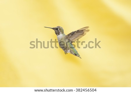 Hummingbird Isolated on Yellow