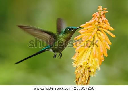 Hummingbird Long-tailed Sylph eating nectar from beautiful yellow flower in Ecuador - stock photo