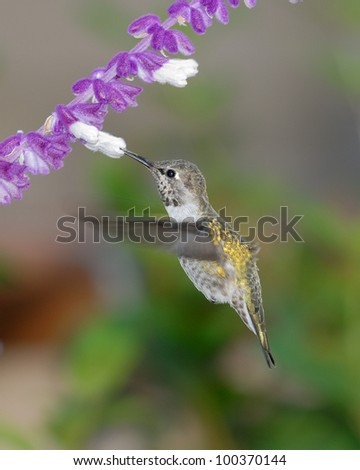 Hummingbird probing a flower - stock photo
