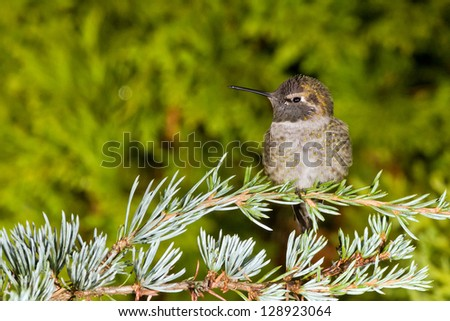 Hummingbird sits on a branch - stock photo