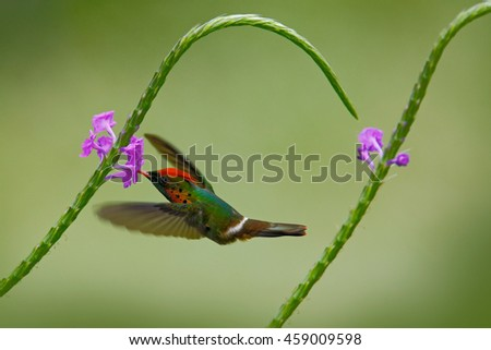 Hummingbird Tufted Coquette, colourful bird with orange crest and collar in green and violet flower habitat, flying next to beautiful pink flower, action scene, Trinidad. Beautiful hummingbird in fly. - stock photo