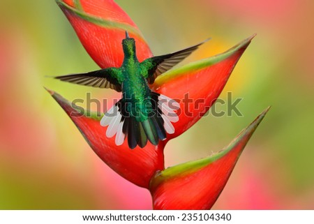 Hummingbird White-tailed Sabrewing flying next to beautiful Strelitzia red flower - stock photo