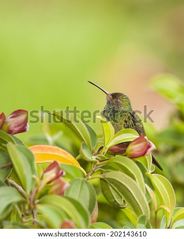 Hummingbird with it's nictitating membrane closed over the eyes. - stock photo