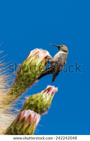 Hummingbirds collects soft part of the cactus for their nest, Bolivia - stock photo
