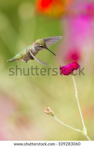 hummingvird - stock photo