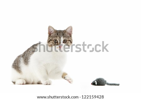 Humorous image of a curious cat batting at a toy mouse with its paw to test if it is a fake or a live meal waiting to be caught, isolated on white - stock photo