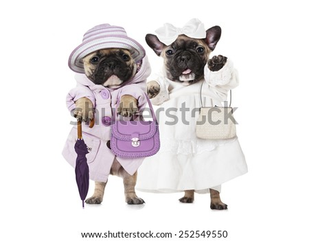 Humorous image of French bulldog puppies dressed as a dolls with hand bags  - stock photo