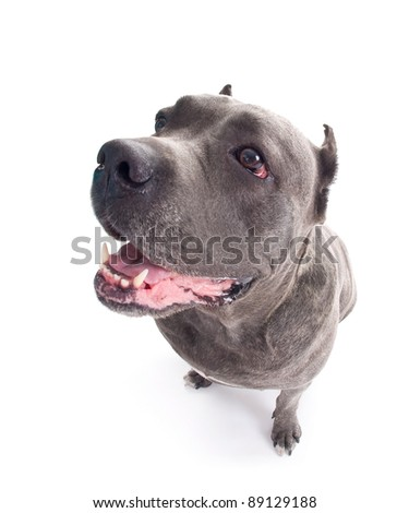 "humorous portrait of the dog breed ""Cane Corso"" - stock photo"