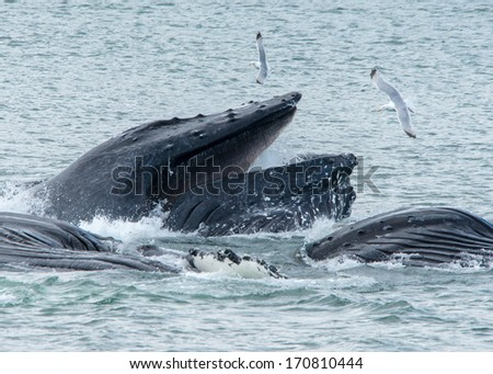 Hump Back Whales bubble net feeding