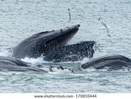 Hump Back Whales bubble net feeding - stock photo