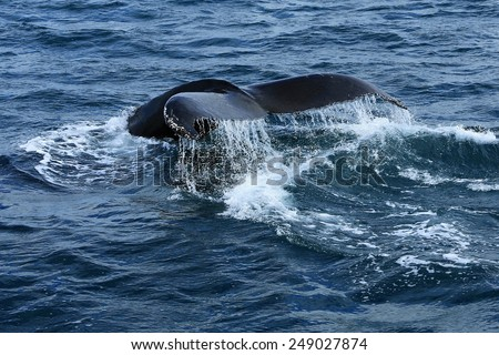 Humpaback Whales Playing. Jump. Iceland - stock photo