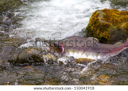 humpback salmon fish  going on spawning - stock photo
