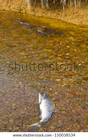 humpback salmon going on spawning - stock photo
