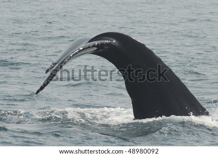 Humpback tail, side view