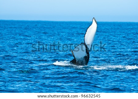 Humpback Whale - stock photo
