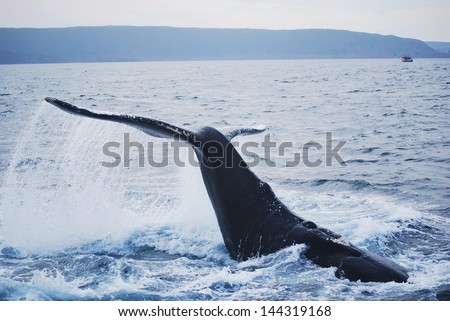 Humpback whale at St. John's harbour in Newfoundland - stock photo