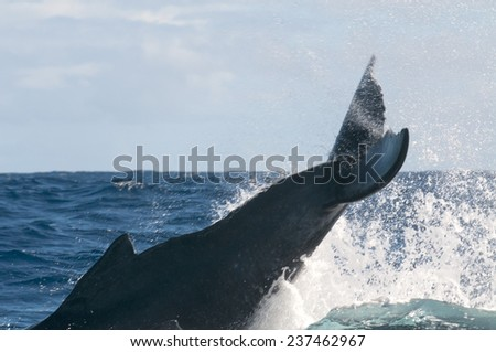 Humpback whale breaching and jumping in blue polynesian sea