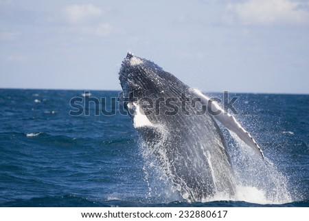 Humpback Whale Breaching from the Atlantic Ocean