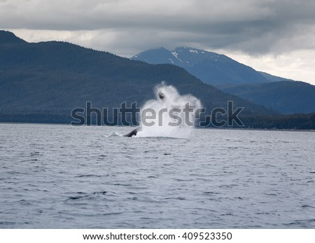 Humpback whale breaching near Juneau, Alaska - stock photo