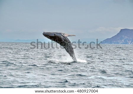 Humpback whale breaching off the coast of Puerto Lopez, Ecuador