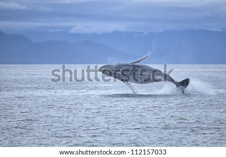 Humpback whale breaching offshore SW Alaska