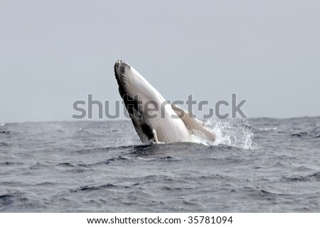 humpback whale breaching the surface - stock photo