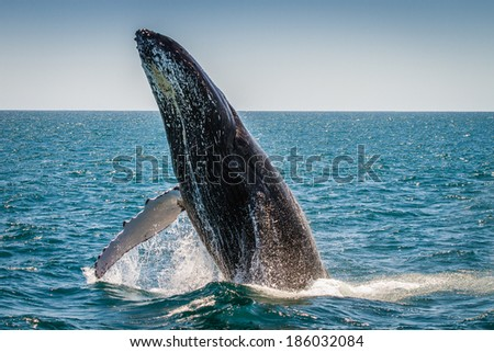 Humpback Whale Breaching, Western Australia, 3 of 7 - stock photo