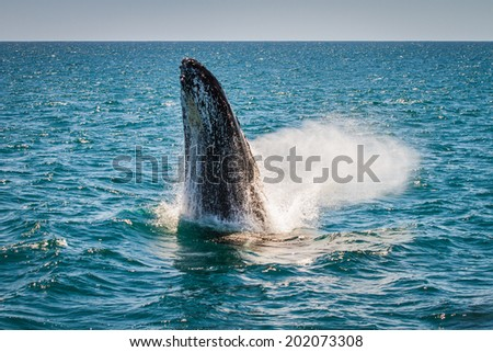 Humpback Whale Breaching, Western Australia, 1 of 7 - stock photo