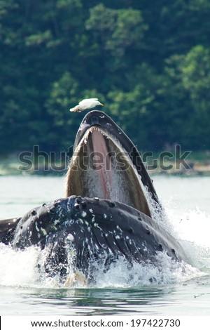Humpback Whale Bubble Net Feeding - stock photo