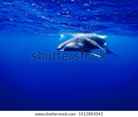 Humpback whale calf swimming calmly in blue water
