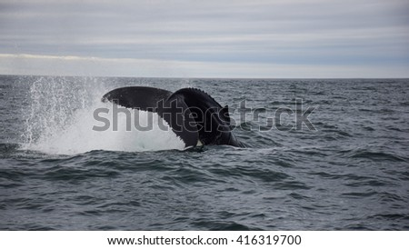 Humpback whale diving - stock photo