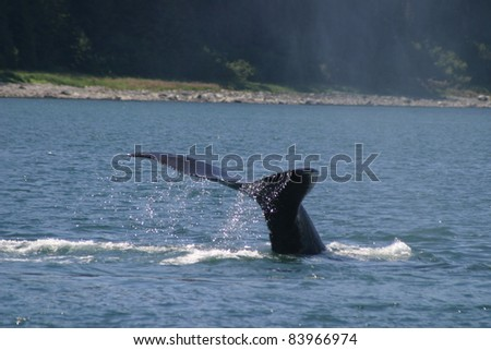 Humpback Whale diving in Southeast Alaska - stock photo