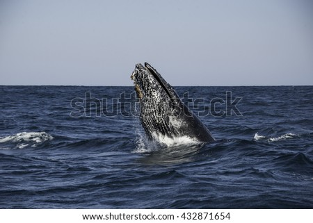 Humpback whale doing a head slap  off the east coast of South Africa during the winter migration north to warmer waters - stock photo