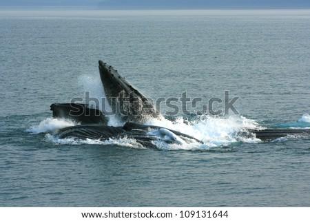 humpback whale feeding group, Inside Passage, Alaska, USA - stock photo