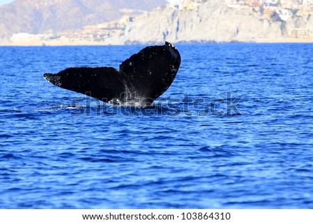 Humpback whale fluke by San Lucas Mexico(Los Cabos)