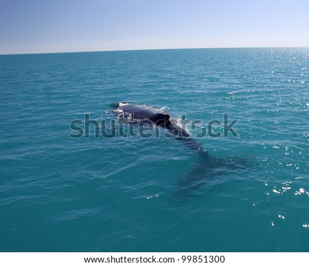 Humpback Whale in Australia (Whitsundays Islands) - stock photo