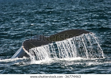 Humpback whale in Cape Cod bay