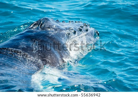 Humpback whale in front of Fraser Iceland, Australia - stock photo