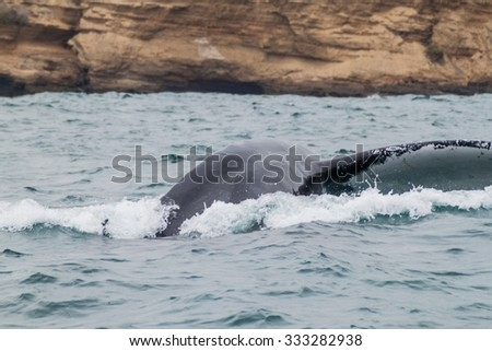 Humpback whale in Machalilla National Park, Ecuador - stock photo