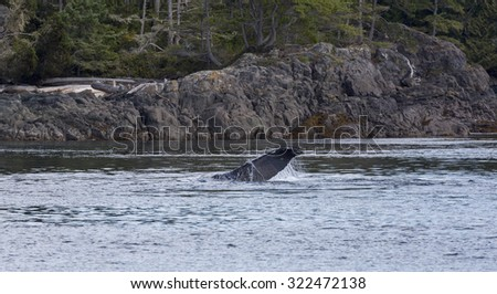 Humpback whale in the Johnstone strait near the coastline of a Island, Vancouver Island, British Columbia, Canada - stock photo