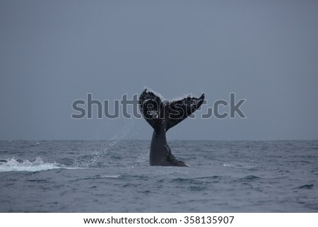 Humpback whale is showing his tail. Madagascar. The water area of the island of St. Mary.