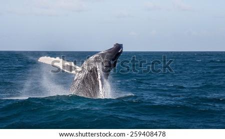 humpback whale jumping, Samana/Dominican Republic, motion blur - stock photo