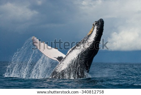 Humpback whale jumps out of the water. Beautiful jump. A rare photograph. Madagascar. St. Mary's Island. An excellent illustration. - stock photo