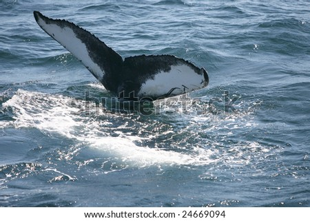 Humpback Whale lifting Tail before Dive