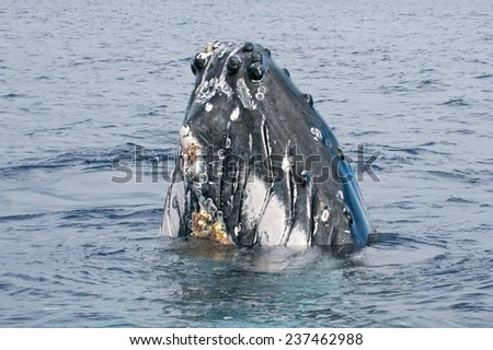 Humpback whale looking at you in deep blue polynesian ocean - stock photo