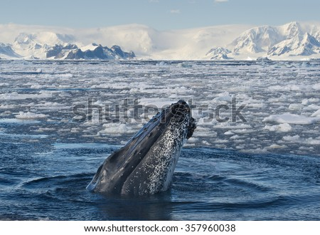 Humpback Whale looking from blue sea, with icy mountain background, Antarctica - stock photo